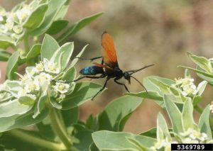 Tarantula Hawk Wasp: Are Their Stings Dangerous to Humans?