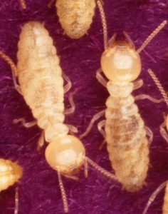 Baby Termites vs. Adult Termites: What Is the Difference?