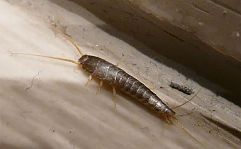 silverfish, pest library